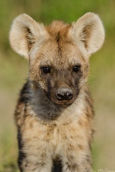 Baby Hyena! - Seen in Kruger National Park, South Africa!