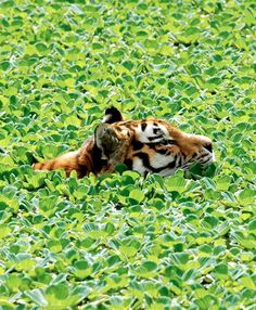 Tiger swimming through the water hyacinths by Stefan Jacobs