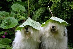 Sophie and Sarah, a pair of Old English sheepdog sisters living in the Netherlands, are a couple of regular hams when it comes to posing for photos. Big Dogs, Cute Dogs, Dogs And Puppies, Doggies, Poses For Photos, Dog Photos, Bearded Collie, Pose For The Camera, Raining Cats And Dogs