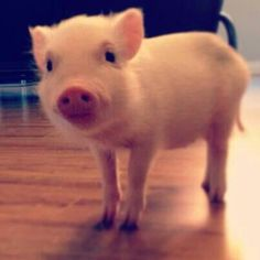 Little teacup pig, can i steal you away and keep you?