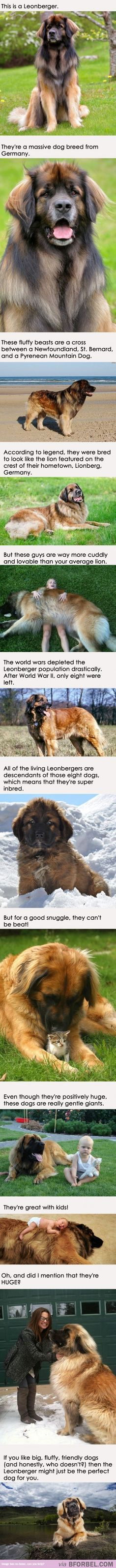 Adopt A Leonberger Today!  We are fortunate that they are still around. During WWII, they were killed off because no one had $ to feed them