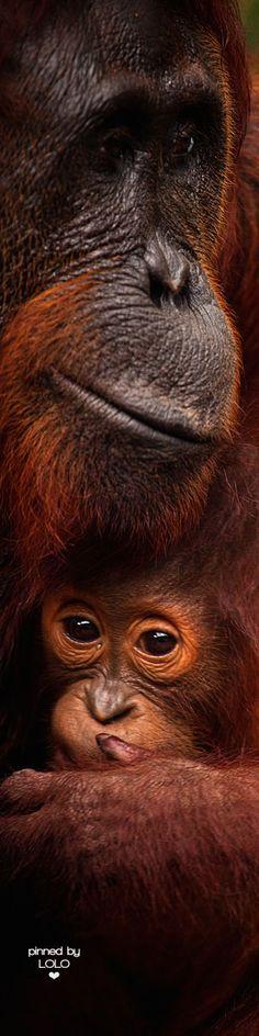 Orangutan Baby | LOLO❤