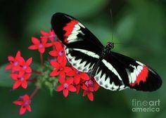 piano-key-butterfly