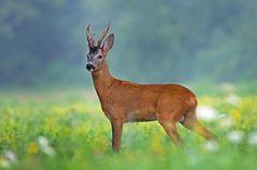 (via 500px / Roe deer by Uros Poteko)