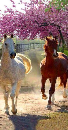 Appaloosa or Arabian? Horses And Dogs, Cute Horses, Horse Love, Wild Horses, Animals And Pets, Cute Animals, Most Beautiful Animals, Beautiful Horses, Beautiful Creatures