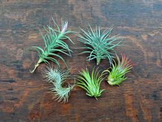 "Tillandsias (aka ""air plants).  Easy to care for, fun to display. #airplants"