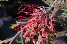 Grevillea Robyn Gordon Australian Native Flowers