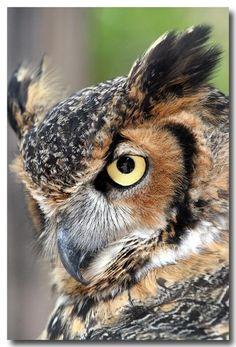 Owl for art