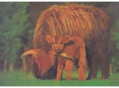Scottish Highland Cattle - I want at least one cow from this breed!!! perhaps a few cows and a bull :)