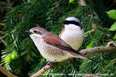 Jungvogel und Männchen vom Neuntöter
