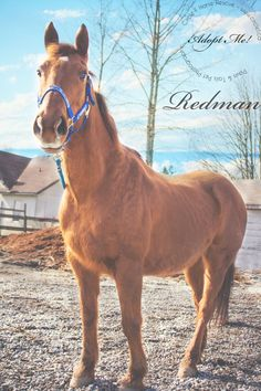 Redman is up for adoption at Circle F Horse Rescue! www.circlef.ca    Name: Redman  Registered Name:   Breed: Quarterhorse X Gelding  Birthdate: 1996  Color: Sorrel with star  Height: 15.0 hh    To learn more about Redman - be sure to go to the Circle F Website here: http://www.circlef.ca/redman.htm   and also watch his video below!  http://youtu.be/HDDA8_G110w     ©Paws & Tails Pet Photography 2013 http://pawsandtail2.wix.com/welcomer