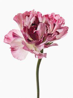 """""""Big Blooms"""" by Paul Lange. Botanical Flowers, Botanical Art, Botanical Illustration, Big Flowers, Beautiful Flowers, Peonies, Tulips, Ranunculus, Daffodils"""