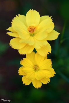Yellow Cosmos Flowers ~ Photography by flowers photography ~ It's a Colorful Life ~ Cosmos Flowers, Flowers Nature, Exotic Flowers, Amazing Flowers, Yellow Flowers, Beautiful Flowers, Blossom Garden, Blossom Flower, Arrangements Ikebana