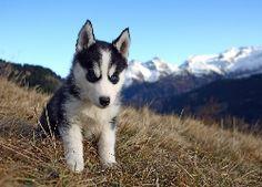 Słodki, Szczeniaczek, Husky, Polana, W, Górach Husky, Canoe, Animals And Pets, Alaska, Puppies, Nature, Mountains, Google Search, Travel