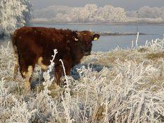Kalfje in Beuningse uiterwaarden in winterrijp.