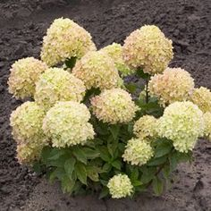Buy Hydrangea Little Lime Shrubs Online. Garden Crossings Online Garden Center offers a large selection of Hydrangea Hardy Plants. Shop our Online Shrub catalog today!