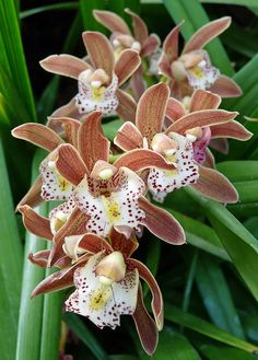 Cymbidium Orchid at the Calgary Zoo Conservatory, by njchow82, via Flickr