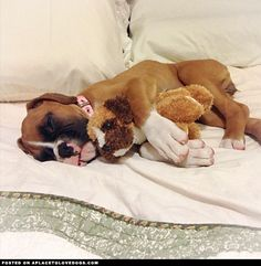 OMG I Adore the Boxer Stuffy this Boxer pup is sleeping