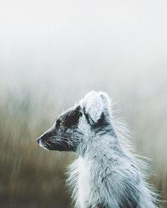 Highland Fox | Pinterest: Natalia Escaño