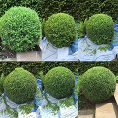 Thought I would share with you my process of shaping a box ball. Starts top left and finishes bottom right. Start around the centre to get… Boxwood Landscaping, Front House Landscaping, Boxwood Garden, Small Yard Landscaping, Topiary Garden, Diy Garden, How To Trim Bushes, Minimalist Garden, Flower Garden Design