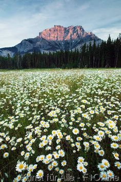 Ochsen-Augen-Gänseblümchen, Kaskaden-Berge, Gänseblümchen