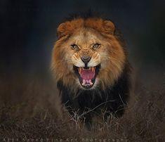 Fotógrafo registra expressão de leão segundos antes de ser atacado – veja - Mega Curioso