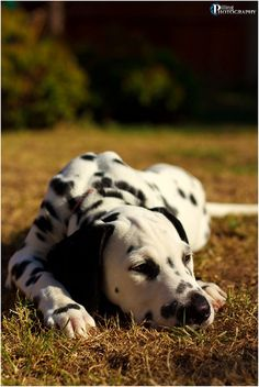 Dalmatian Puppy Sleeping on a Sunny afternoon in the Garden