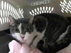 NYC TO BE DESTROYED Friday 04/24/15 *Lost Her Person & Home** PEPPER's displaying tense behavior. She avoids interaction with the assessor & becomes fractious when handled. Pepper is exhibiting behavior suited for experienced cat parents. ID # A1033598. Spayed female gray & white about 6 YEARS old.OWNER DIED. I came in with Group/Litter #K15-010525. https://www.facebook.com/nycurgentcats/photos/a.994636727220981.1073742664.220724831278845/994636943887626/?type=3&theater