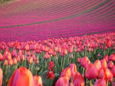 Field of Tulips, I saw these fields in Michigan so amazing!!!! Rows & rows of color!