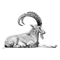 Nubian Ibex | by scottwoyak