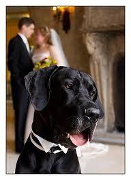 Let them kiss) #great #dane #wedding