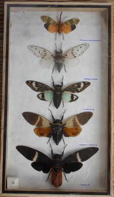 5 Real CICADA Insect Taxidermy Collection in wooden box / inf07g. $24.90, via Etsy.