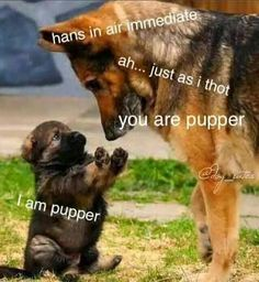 22 Belly-Rubbin' Good Boy Doggo Memes - World's largest collection of cat memes and other animals Funny Animal Memes, Dog Memes, Cute Funny Animals, Funny Animal Pictures, Cute Baby Animals, Funny Cute, Funny Dogs, Funny Memes, Wild Animals