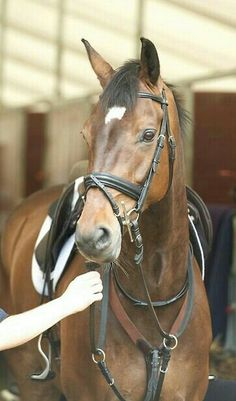 Lionheart, the great event horse.