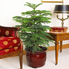 Norfolk Island pine is a fast-growing tree that can grow to 200 feet tall in its native habitat but seldom reaches more than 10 feet tall in containers indoors. If it doesn't receive bright light indoors, its branches droop and begin to turn brown. Keep the soil moderately dry, but give it high humidity.