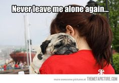 Awww! So cute, but this is something to keep in mind if you are thinking about a pug - they are AMAZING, but they are addicted to attention. If you don't want a velcro dog, this is not your breed. If you do, none is better!