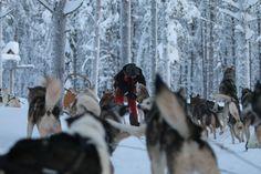 Hundeschlitten in Lappland.   #Lappland #reisen #adelebergzauber #outdoorbekleidung #allgäu #kempten #winter Lappland, Adele, Winter, Skating, Travel, Winter Time, Winter Fashion
