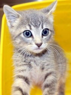 ADOPTED Cherish: Sweet 2-month-old tabby is out of time at high-kill upstate shelter
