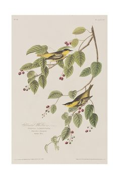 John James Audubon, Wall Art and Home Décor at Art.com