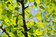 La pianta di Ginkgo Biloba porta veramente diversi benefici al nostro organismo. L'hai mai assunto? Cosa ne pensi? SEGUICI ANCHE SU TELEGRAM: telegram.me/cosedadonna