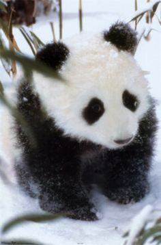 FP8717Baby-Panda-Posters-588x893.jpg (588×893)