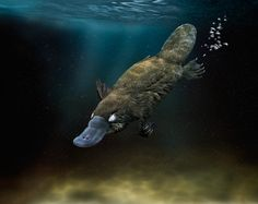 platypus swimming underwater - Google Search