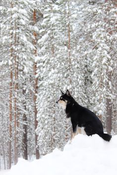 Trees and a dog. Lapponian herder Räpsy from Lapland Cute Cats And Dogs, I Love Dogs, Primitive, Dog Cat, Cute Animals, Trees, Winter, Life, Dogs