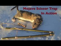 Mojave Scissor Survival Trap in Action. Catching and eating Rats. - YouTube