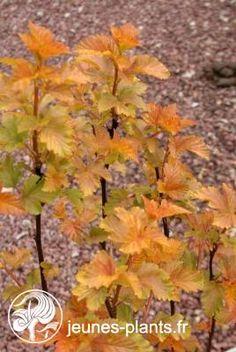 Physocarpus opulifolius Amber Jubilee ® - Physocarpe Amber Jubilee