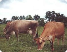 Cato Corner Farm : Farmstead Cheese from 40 free-range Jersey cows - with no hormones or therapeutic antibiotics!