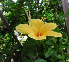 Hibiscus amarelo