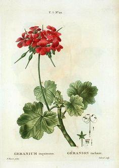 Pierre Joseph Redoute  Geranium  1801-19