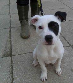 Staffy: Bullseye at Dogs Trust