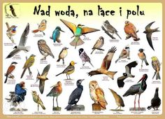 Plakaty edukacyjne Ptaki w Polsce Szczecin - image 2 Learn Polish, Aa School, Primary Teaching, Montessori, Bushcraft, Homeschool, Survival, Birds, Education